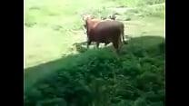Lusty Bull?? Thumbnail