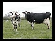 vacas de alcantarilha