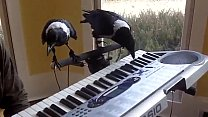 Вороны обыкновенные