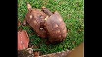 Tartaruga tranzuda
